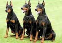 cani da guardia-